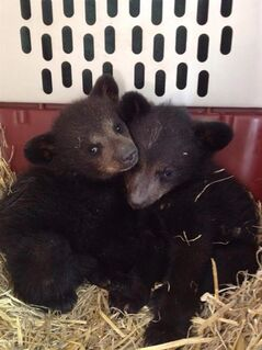 Two orphaned bear cubs, a brother and sister, are shown in this recent photo.Two bear cubs orphaned in southeast B-C are in a rehabilitation centre on the other side of the province after a 12-hundred and 50 kilometre road trip. THE CANADIAN PRESS/HO-Wendy Chambers