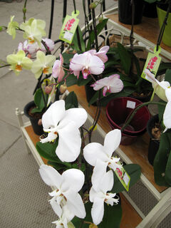 Displays of miniature orchids like this one are common nowadays in retail establishments.