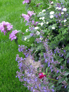 Good companions for Big Betony are white double matricaria and purple nepeta.