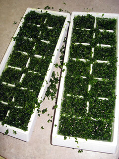 The trays are filled with water, covering the chopped parsley.