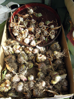 Garlic must be dried thoroughly in a shallow tray or box of some kind.