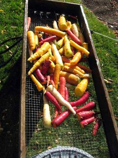 Coloured carrots were acceptable but lacked the flavour and sweetness of traditional carrots.