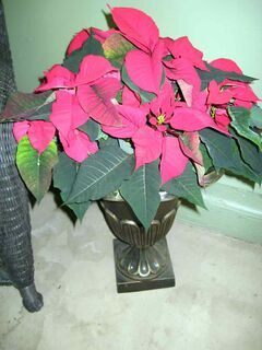 A lovely specimen poinsettia in a large urn at Patmore Nursery.