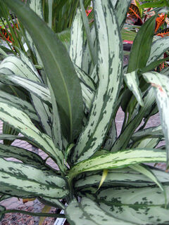 The variety 'Cutlass' has similar colouration to my 'Silver Queen', but the leaves are much narrower.