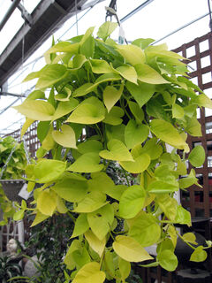 Golden pothos provides a block of pure gold when used as a hanging plant.