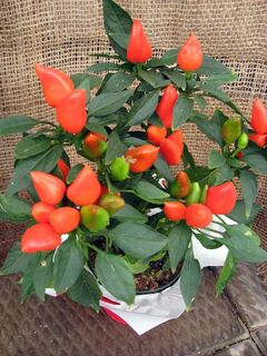 Orange ornamental peppers fit into any autumn display.