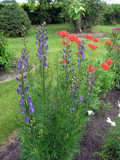 Maltese cross is paired effectively with purple monkshood.