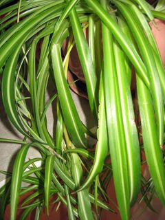 Pendulous spider plants would work in a living wall.