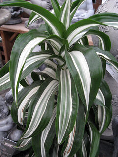 Newer varieties of D. fragrans are being developed. This one has striking white markings on its green leaves.
