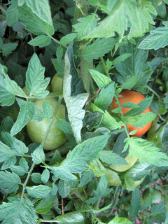 This healthy tomato plant has fruit that is ripening – nothing rivals the flavour of a vine-ripened tomato.