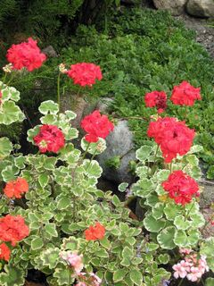 Geraniums performed well during our hot, dry summer.