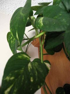 Pothos would be particularly suitable for a living wall in a low light location.
