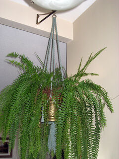 A hanging sword fern adds charm and softness to an indoor space.