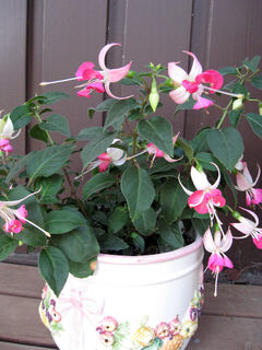 This small table-top fuchsia has a more upright growth habit and smaller, daintier blooms.