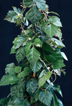 Grape ivy can be trained up a support for a vertical effect.