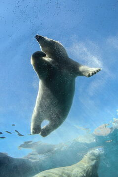A polar bear swims in its new home at  the Journey to  Churchill exhibit.