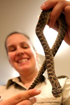Spruce Woods Provincial Park interpreter Jennifer Bryson holds up a hognose snake. The park was officially named an important area for reptiles and amphibians by the Canadian Amphibian and Reptile Conservation Network.