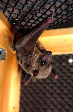 FILE - In this July 29, 2003 file photo, an Egyptian fruit bat hangs upside down in its cage at the home of Geraldine Griswold in Winsted, Conn. Scientists theorize Ebola comes from some kind of bat, mainly because of how similar it is to Marburg virus, which researchers isolated from Egyptian fruit bats in Central Africa. (AP Photo/Bob Child, File)