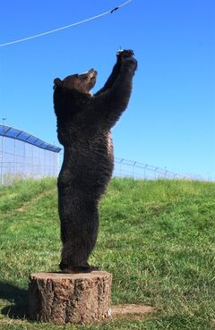 This photo provided by Washington State University shows a 3-year-old grizzly named Roan that figured out that the tree stump can be moved and stood upon at WSU's Bear Research Education and Conservation Center in Pullman, Wash., July 31, 2014. (AP Photo/Washington State University via The Moscow-Pullman Daily News, Linda Weiford)