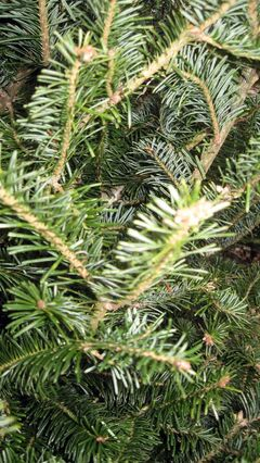 The bright green balsam fir is one of the best trees for needle retention.