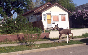 A moose strolls down the 600-block of Ninth Street on Tuesday morning. The animal was later escorted out of the city by police.