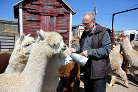 David Matthews feeds alpacas in a pen at Circle O Alpacas near Alexander on Wednesday. This weekend, more than 100 alpacas from four provinces will be on display at the Keystone Centre for the 15th annual Keystone Alpaca Classic.