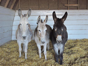 Mother Dovey (left) and her twins Ida and Ivan pose in the same barn they were born in five years ago.