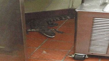 This Oct. 12, 2015 photo provided by the Florida Fish and Wildlife Conservation Commission shows an alligator in the kitchen of a Wendy's Restaurant in Loxahatchee, Fla. Florida wildlife officials say that 24-year-old Joshua James threw a 3.5-foot alligator through a fast-food restaurant's drive-thru window in October. He's charged with assault with a deadly weapon. On Tuesday, Feb. 9, 2016, bail was set at $6,000. (Florida Fish and Wildlife Conservation Commission via AP)