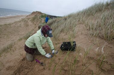 The Nature Conservancy of Canada rounded up a group of volunteers this weekend in a grassroots effort to preserve sand dunes on the north shore of Prince Edward Island. Julie Vasseur, provincial program director with the conservancy group, said as many as 20 volunteers came to St Peters Harbour to plant marram grass along the Gulf of St. Lawrence shoreline. THE CANADIAN PRESS/HO-University of Prince Edward Island-Sean Landsman MANDATORY CREDIT