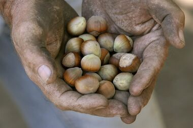 A hazelnut farmer holds a handful of nuts near Canby, Ore., in an Aug.28, 2007 photo. Ontario farmers are stepping in to feed Canadians' appetite for hazelnuts as the industry deals with a worldwide shortage, sky-high prices and the spread of nut-killing blight in British Columbia. THE CANADIAN PRESS/AP Photo/The Oregonian, Doug Beghtel MAGS OUT; TV OUT; LOCAL TELEVISION OUT; LOCAL INTERNET OUT; THE MERCURY OUT; WILLAMETTE WEEK OUT; PAMPLIN MEDIA GROUP OUT