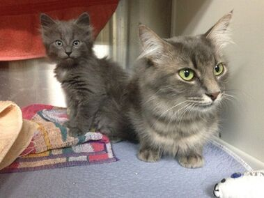 Smokey, right, and her kitten Milou are presently available for adoption, shown here in their temporary home at the Montreal SPCA on Tuesday, June 30, 2015. Shelters in Quebec are bracing for the annual influx of animals left behind during the province's