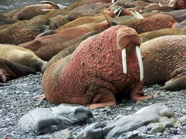 This May, 2015 photo provided by explore.org, shows walruses on a beach, recorded by a robotic camera on Round Island, Alaska. A popular webcam showing large male Pacific walruses lying on the beach is once again streaming on the Internet. The high-definition stream from Alaska's remote Round Island had been dormant for nearly a decade after private funding ran out. But thanks to the philanthropic organization explore.org, the cam is again up and running.(explore.org via AP)