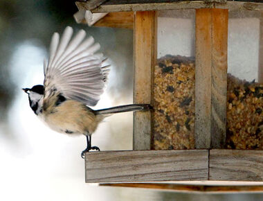 A chickadee alights from a feeder on a chilly Monday afternoon along 12th Street. It and other birds will need all the feed they can get with temperatures taking a dive through the rest of the week.