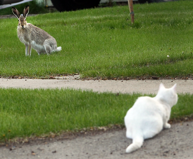 A cat stares down a wild rabbit in a yard along Seventh Street near Lorne Avenue on Wednesday evening.