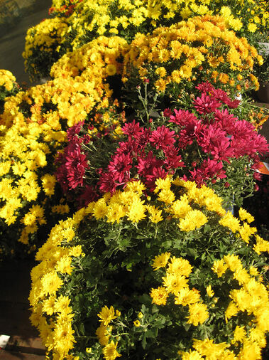 Potted chrysanthemums sold in retail outlets are not hardy but can be used to make seasonal displays.