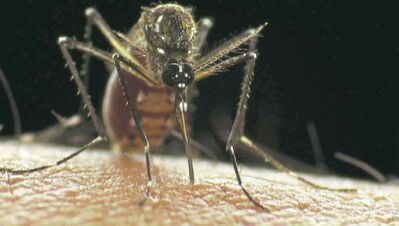 Remember these guys? Hardly any mosquitoes around, the city says.