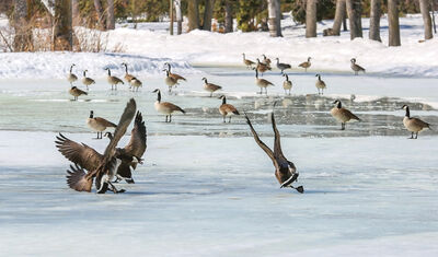 Geese come in for a slippery landing on a still frozen pond in St. Vital Park in Winnipeg on Tuesday. The geese are ready for spring, but Winnipeg it seems, didn't get the memo. (Crystal Schick/Winnipeg Free Press)
