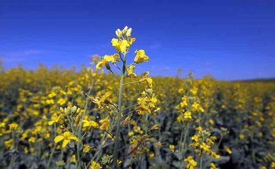 Looking ahead to this year's crop, experts say spring wheat is making a comeback because it's lucrative for growers. However, canola will still remain the No. 1 crop across the Prairies.