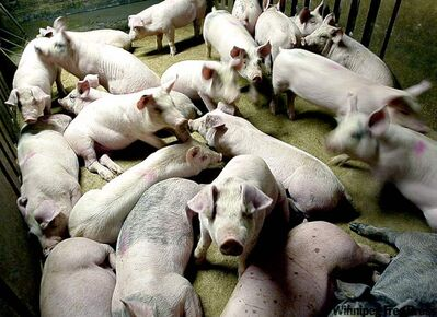 But in case the U.S. actions are not satisfactory, the Canadian pork industry will lobby Ottawa to impose retaliatory sanctions.