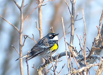 """One memorable moment for farmer Clifford Flynn was being in the bush on his property during a spring migration of warblers. Up to 10 species — including the yellow-rumped warbler pictured above — swarmed around him. """"Everywhere you looked, you saw warblers ... It was wonderful."""""""