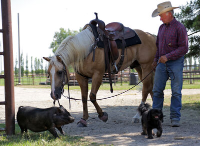 Neil McLeod works with Gunner, a horse he trains and boards at Thunderbird Horse Center, along with Houdini the dog and a potbellied pig named Chewbacca.