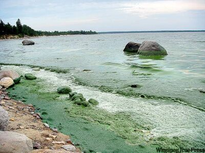 Blue-green algae washes onto a Lake Winnipeg beach in a 2010 file photo.