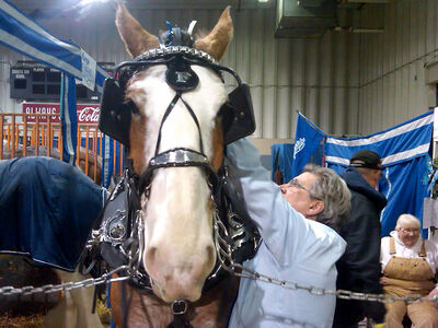 Rob Fargo makes some last-minute alterations to Charlie, a Clydesdale horse, prior to the first heavy horse show at the Keystone Centre on Monday. Fargo said the Royal Manitoba Winter Fair provides his breeding operation, Fargo Clydesdales, a great opportunity to market his horses.