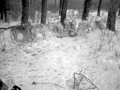 HandoutA pack of 11 wolves was captured on camera on a trail in Riding Mountain National Park last month. The park posted the image on its Facebook page.