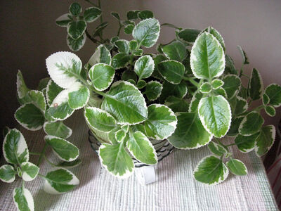 The variegated foliage of Plectranthus coleoides makes it an attractive tabletop plant.