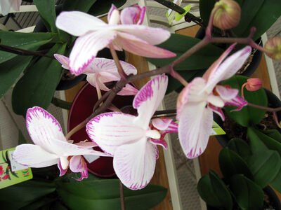 Miniature orchids come in many marvellous colours, including this lovely shade of pink.