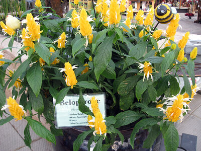 This shrimp plant is the more rare yellow-flowered variety.