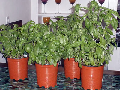 Several plants can be crowded into each.
