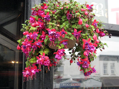 A well cared for fuchsia literally drips with bloom.