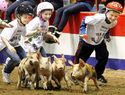 Westman Place is a blur of kids and piglets on Wednesday evening during the Pig Scramble at the Winter Fair.